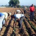 10 10 cultivo tabaco