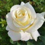 4 foto rosa blanca