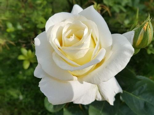 Una flor blanca para el amigo sincero