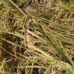 arroz acamado en la sierpe 1