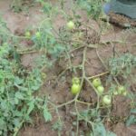 tomate foto brito