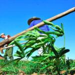 1 agricultura cabaiguan
