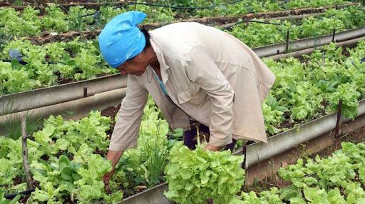 Avanza movimiento de la agricultura urbana en Cabaiguán