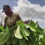 Avanza en Cabaiguán campaña tabacalera