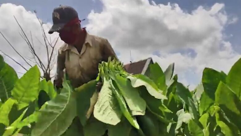 Cabaiguan aporta a campaña tabacalera (+ Video)