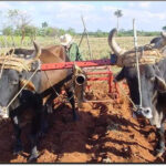 agropecuarios-cabaiguán