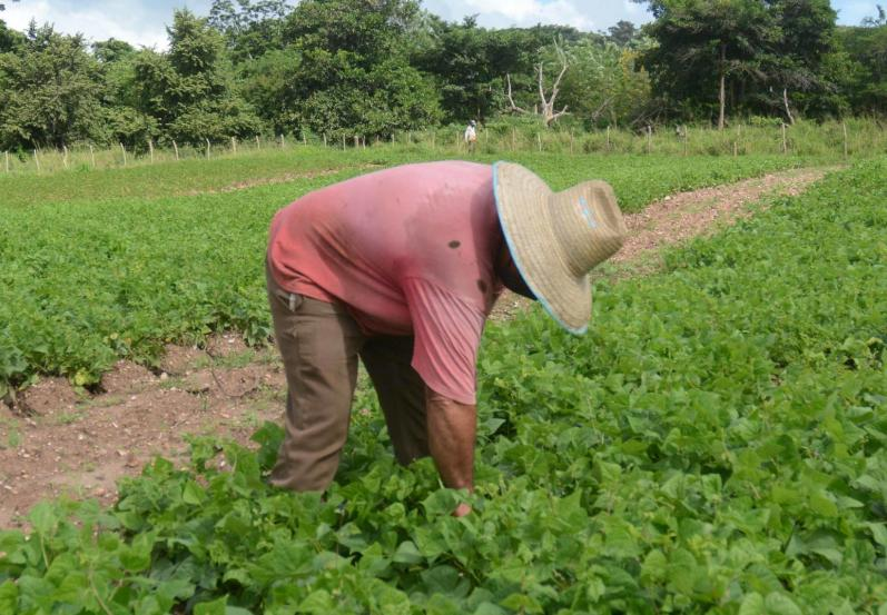 El marco legal introduce incentivos para la producción, el acopio y la comercialización de los productos agropecuarios. (Foto: Oscar Alfonso/ Escambray)